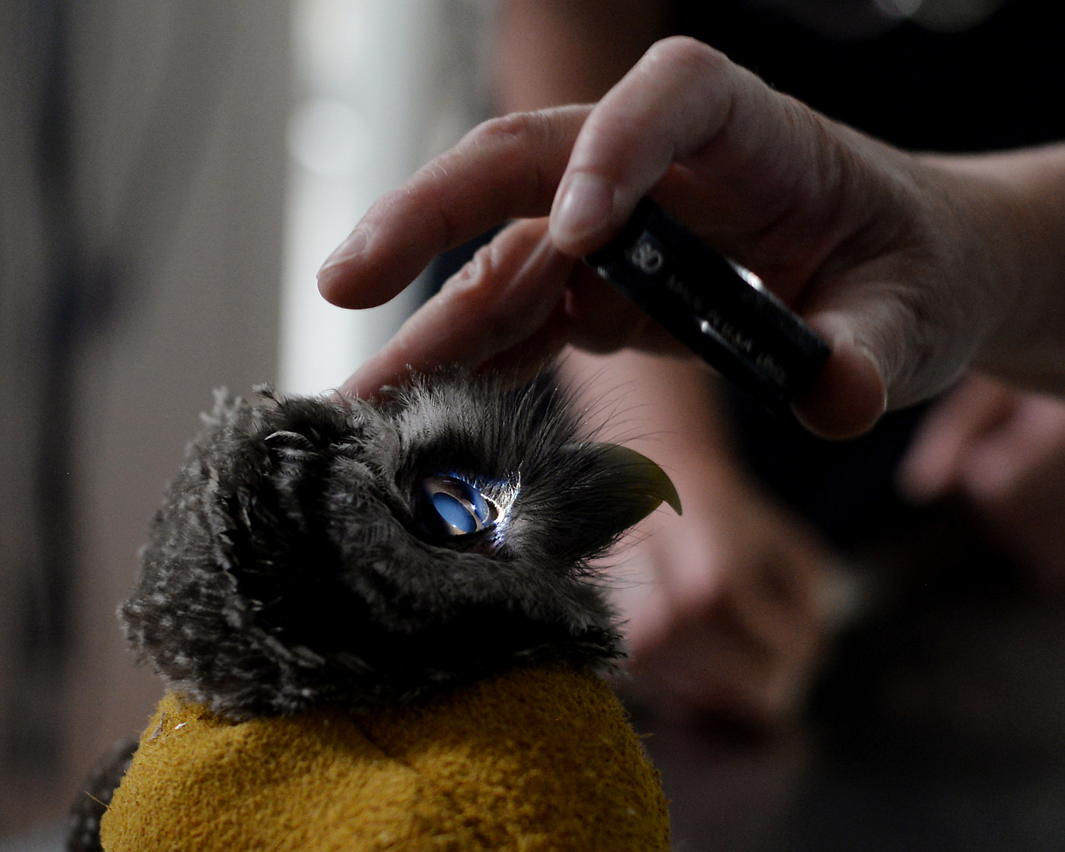 RYAN HUTTON/ Staff photo<br /> A barred owl rescued by the Granite State Animal Hospital in Windham has his eyes checked for cataracts at the Bulger Animal Hospital in North Andover on Wednesday. It was found that his eyes were perfectly healthy and his troubles with vision may be neurological.