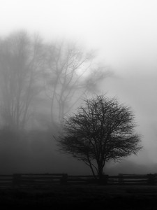Tree in the morning fog