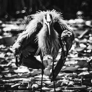 Ruffled heron