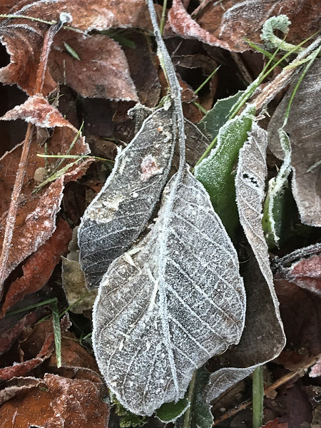 A drooping cluster of frozen leaves