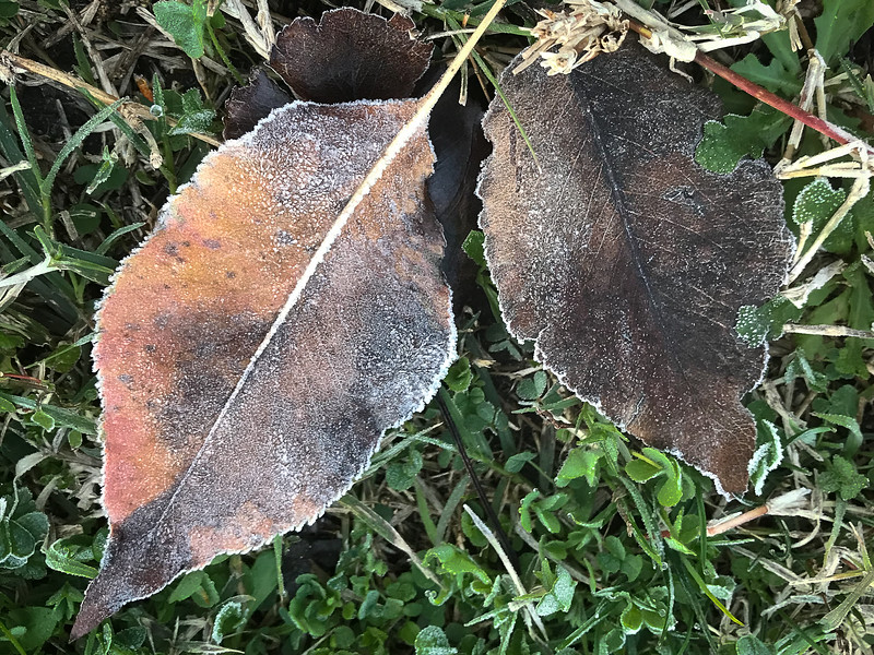 A pair of leaves touched by the frost