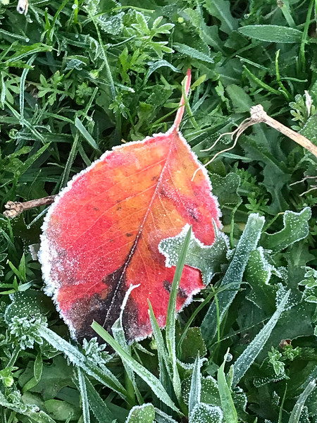 A gloriously red leaf with a touch of California frost!