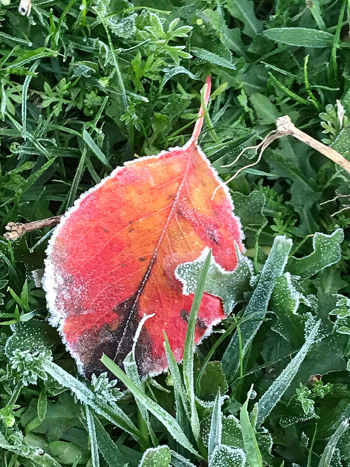 A gloriously red leaf with a touch of frost!