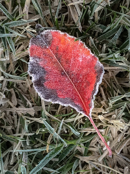 A simple red and black leaf, frozen on the grass