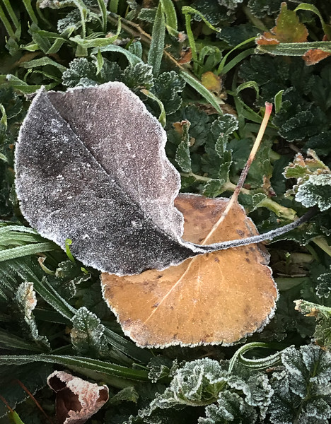 Old leaves on a frosty morning.