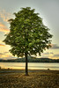 Lone Tree at Elk Lake