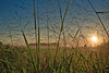 Tall Grasses in the Field