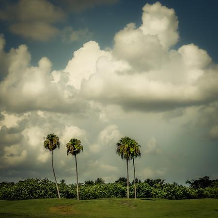 Golf Course Palms