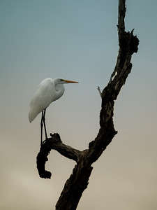 Egret on a Tree