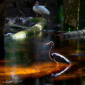 Myakka Heron