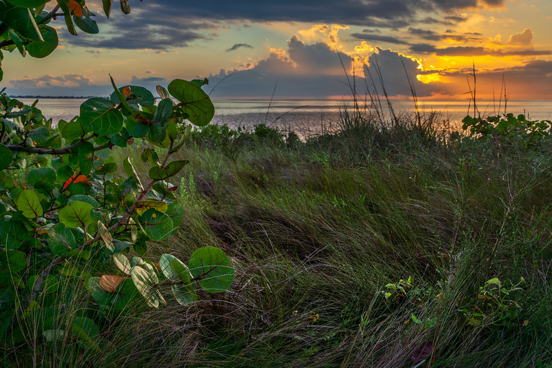 Seagrapes at Sunset