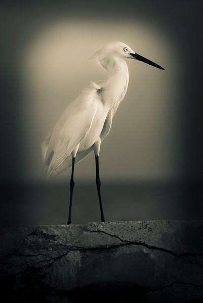 Egret On A Pier