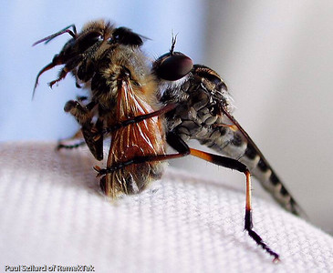 Caption: Hunter Fly eating bee