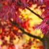 Abstract Background Red Japanese Maple Tree in Fall Autumn