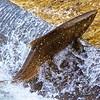 Single Salmon Jumping at  Fish Latter Hatchery
