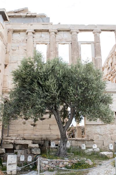 ATHENS. ACROPOLIS. ATHENA'S OLIVE TREE.