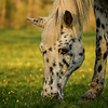 """Appaloosa At Sunset"""