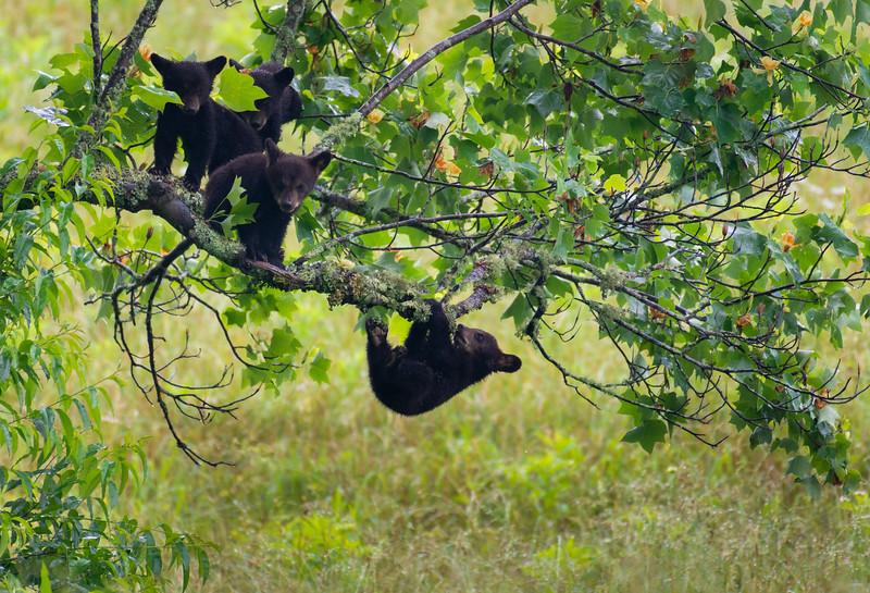 """Baby Bears"""