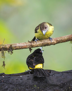 Flame-rumped tanager, pair