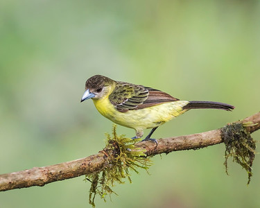 Flame-rumped Tanager, female