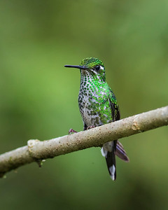 Puple-bibbed Whitetip, female
