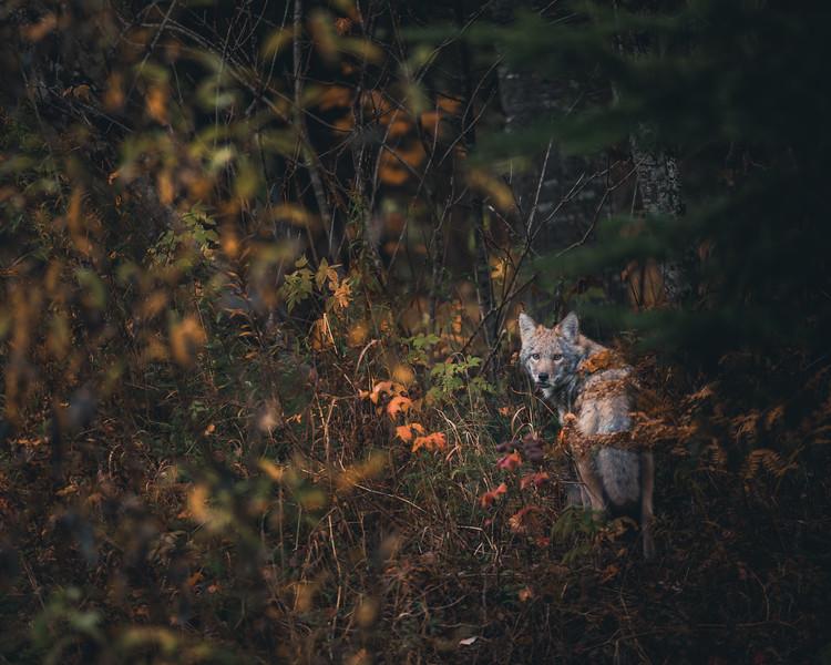 Coyote au Témiscouata
