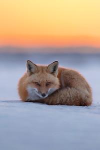 Renard roux au repos