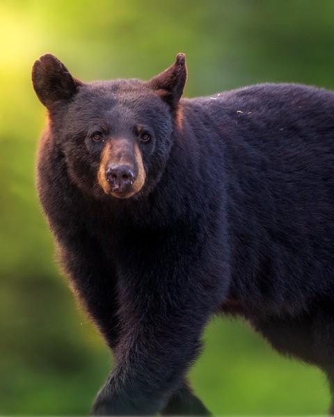 Femelle ours noir