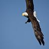 Eagle Aloft Plain
