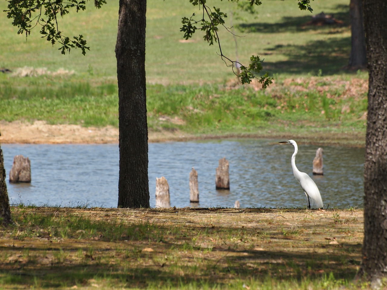 Elegant Great White Egret - Lake Fork, Texas  Order Code: A42