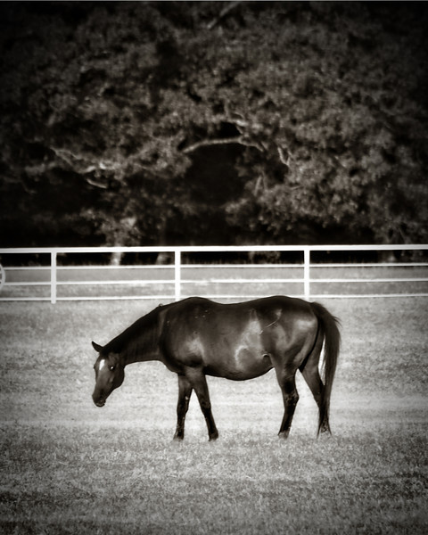 Little Caney Creek Ranch Horse in Black and White- Lake Fork, Texas  Order Code: A18
