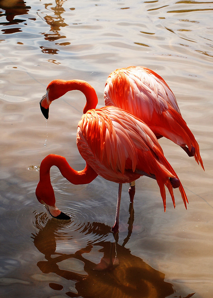 Two Flamingos  Order Code: A8
