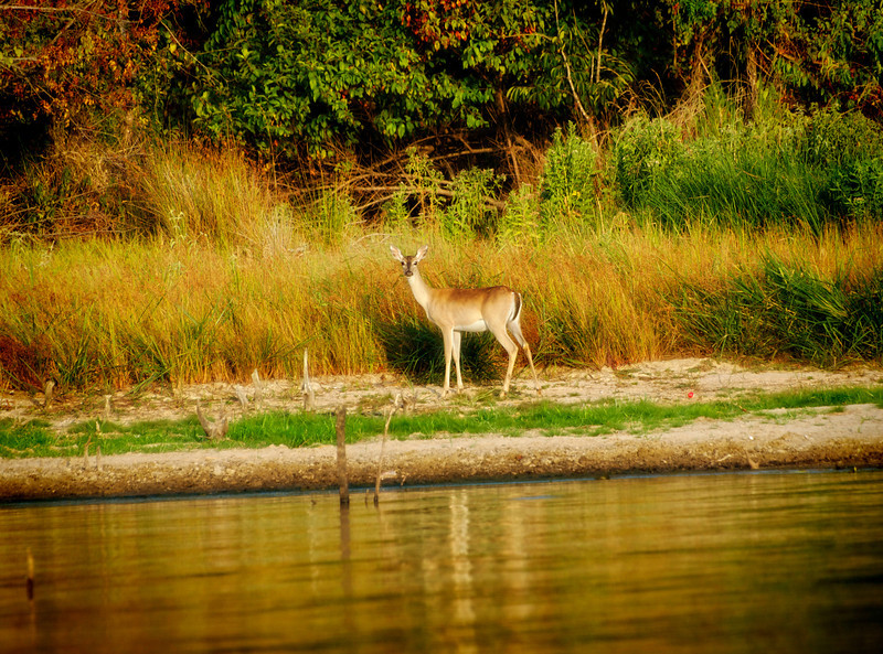 Doe on Lake Fork, Texas  Order Code: A37
