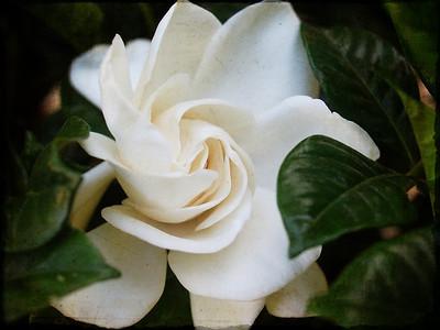 Gardenia  Order Code: A41