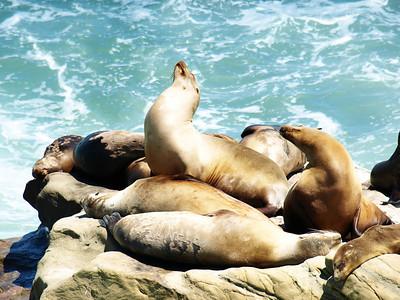 La Jolla Sea Lions  Order Code: A10