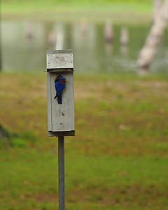 Bluebird on House  Order Code: B18