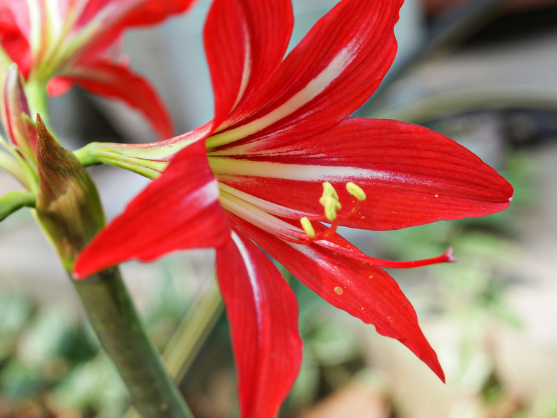 Red Lilly  Order Code: B17