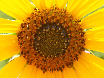 Sunflower at the Mineola Nature Preserve  Order Code: B38