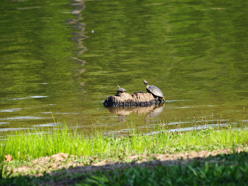 Two Turtles - Lake Fork, Texas  Order Code: B44