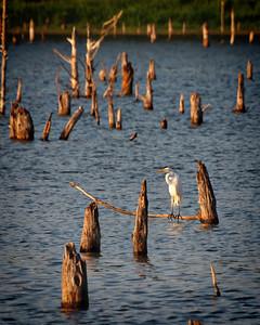 Balancing Act - Great White Egret - Lake Fork, Texas  Order Code: B42