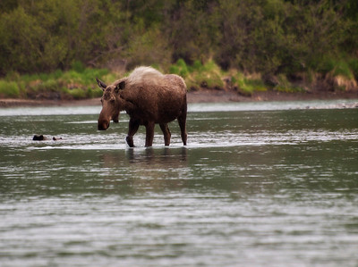 Moose Crossing the Kasilof River.  What you can't see in this photo is that there were about 10 salmon fishing boats around here as well as dozens of fishermen on the shore.  She crossed the water and then shook off between two fishermen before entering the woods.  Order Code: C12