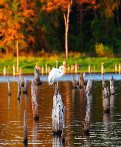 Egret on a Stump - Great White Egret - Lake Fork, Texas  Order Code: C6