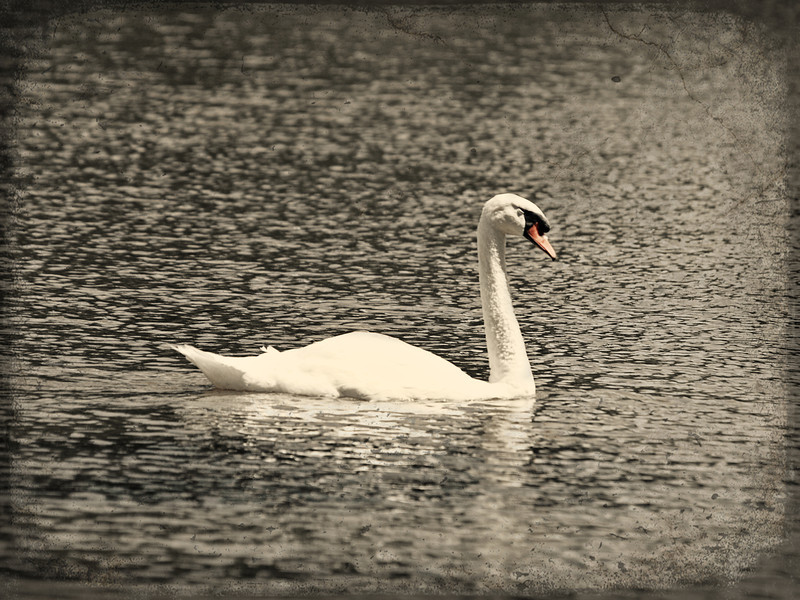 Swan at Medi-Park in Amarillo, Texas. Edited with a silver and grunge texture.  Order Code: C9