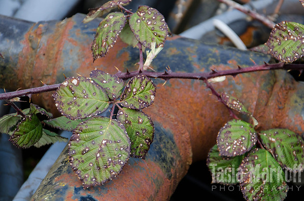 "Even the blackberry vines look rusty in this Yamhill junkyard. <br /> <br /> Metal print with easel base<br /> 5"" x 7""<br /> $53<br /> <br /> 125"