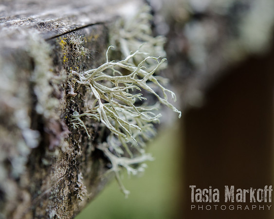 """Sold! <br /> <br /> Lichen stands out on a neglected fence rail in Gaston. When nature takes over, loveliness happens. <br /> <br /> Fuji Pearl paper on a foam-core standout<br /> 8"""" x 10""""<br /> $65<br /> <br /> 135"""