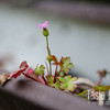 "A tiny pink beauty raises its head from a rain gutter so clogged it is now a miniature garden, in Gaston.  <br /> <br /> Fuji Pearl paper on a foam-core standout<br /> 8"" x 10""<br /> $65<br /> <br /> 116"