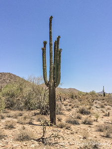 Saguaro cactus, Taliesin West, Scottsdale