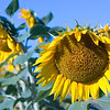 KS Sunflower Head