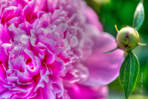 Peony Pink Flower
