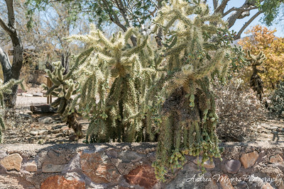 Jumping cholla cactus, Taliesin West, Scottsdale
